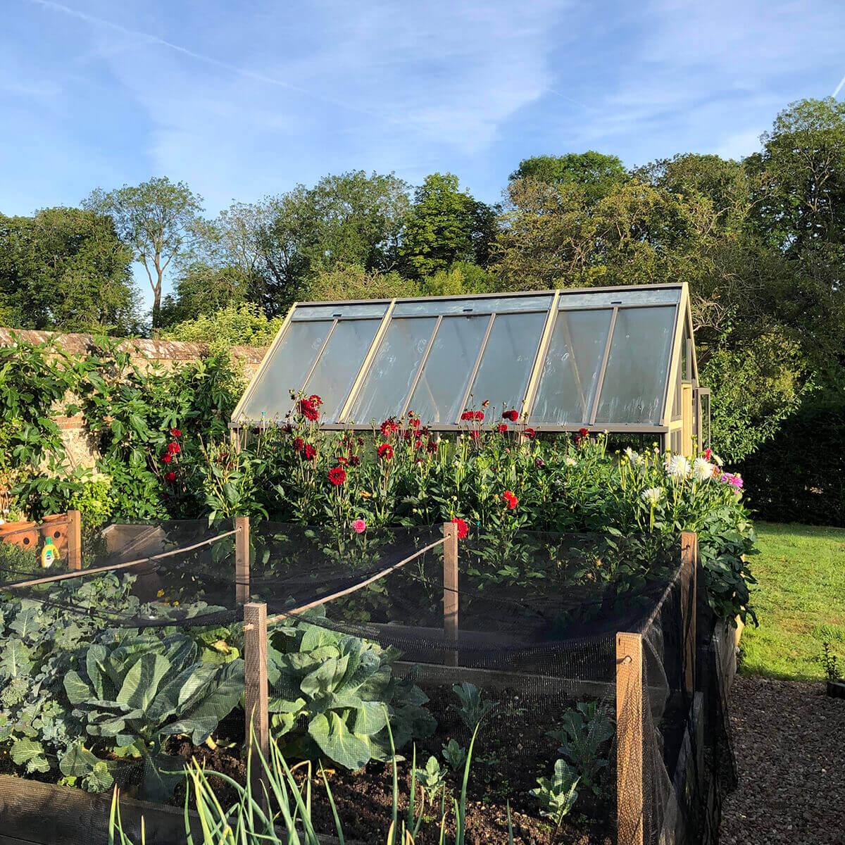 Greenhouse and dahlias
