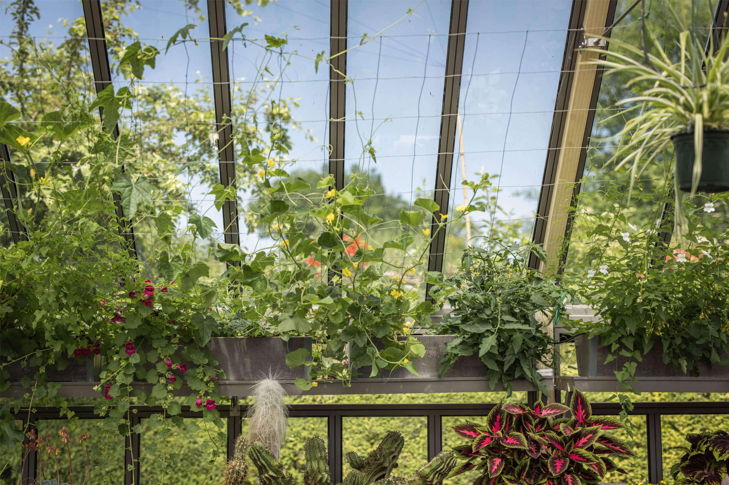 nasturtiums growing up greenhouse roof